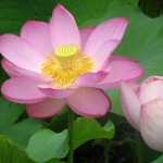 rosa lotusblomma
